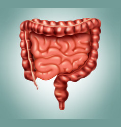 large and small intestine vector image