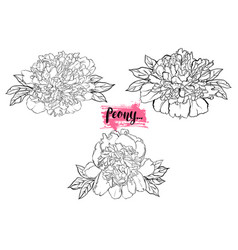 hand drawn peony flower set vector image