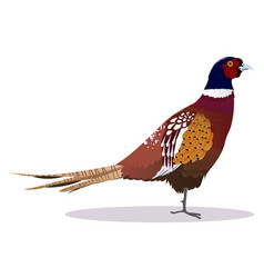 Pheasant bird vector
