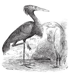 Reddish Egret engraving vector