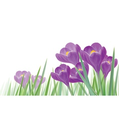 crocus isolated vector image vector image