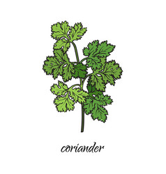 Flat cartoon sketch hand drawn coriander vector