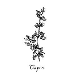 Thyme ink sketch vector