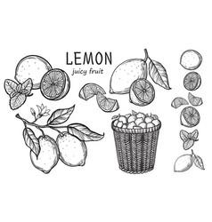 vintage lemon tree sketch vector image