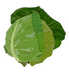 Fresh white cabbage flat isolated vector
