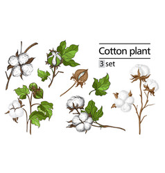 set of hand draw ink cotton plant vector image