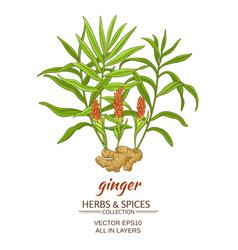 Ginger vector
