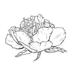 hand drawn peony lower vector image