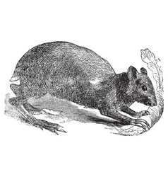 Agouti rodent engraving vector image