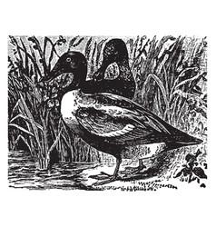 Shoveler duck vintage vector