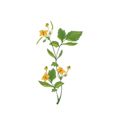 Celandine Wild Flower Hand Drawn Detailed vector image vector image