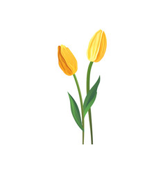 two tulips with yellow petals and green leaves vector image