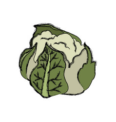 cauliflower with green leaves nutrition vector image