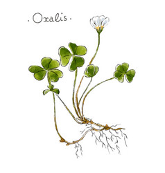 wild plant oxalis hand drawn in color vector image