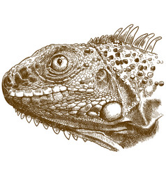 engraving of iguana head vector image