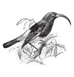 Sickle billed sunbird vintage vector