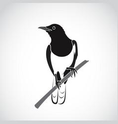 bird on white background oriental magpie robin vector image