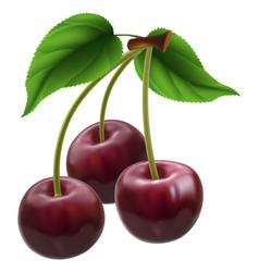 bunch of three cherries vector image