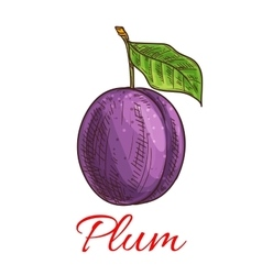 Sketched plum fruit for food and juice design vector