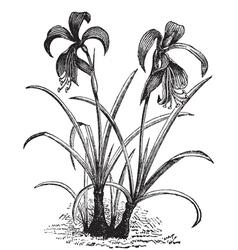 belladonna lily engraving vector image
