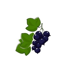 Blackcurrant Isolated on White vector image
