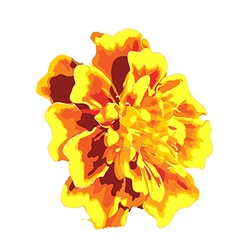 Marigold flower isolated images vector