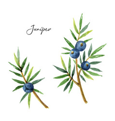 Watercolor set plants juniper isolated on white vector