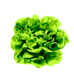 bunch of lettuce greens on a white background vector image