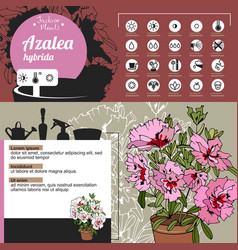 template for indoor plant azalea tipical flowers vector image vector image