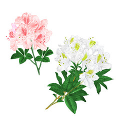 Branches light pink and white flowers vector