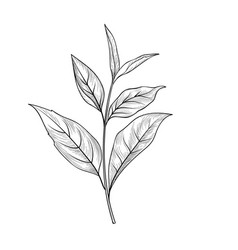 green tea branch tea leaves sketch hand drawn vector image