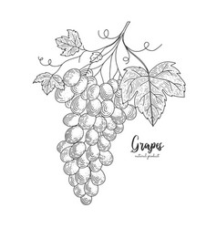 hand drawn bunch of grapes isolated vector image