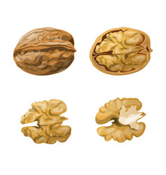 Walnut whole opened and kernels vector