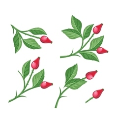 Wild Rose Hip with Berries Isolated Briar Twig vector