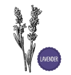 Lavender flowers sketch Hand drawn engraving vector image vector image