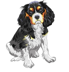 dog Cavalier King Charles Spaniel breed vector image vector image