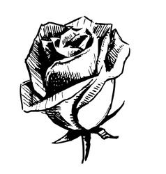 Rose bud sketch vector image vector image