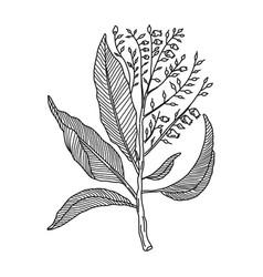 Sorrel tree herbal medicine drawing element vector