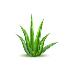 Aloe vera realistic plant skincare cosmetic vector