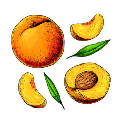 peach drawing isolated hand drawn full and vector image vector image