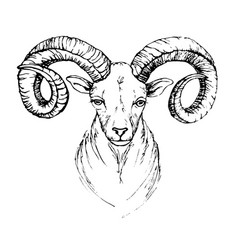 Sketch by pen head of a mountain goat with vector