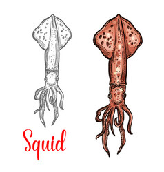 Squid ocean seafood mollusc icon vector