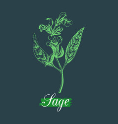 Sage in engraving style hand vector
