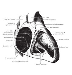 Auricle and ventricle of the heart vintage vector
