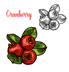 Cranberry sketch fruit berry icon vector