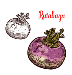 rutabaga or turnip sketch vegetable vector image