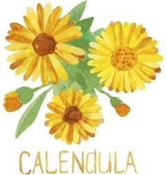 Calendula Handmade watercolor drawing vector