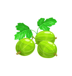 Green gooseberry berries fruits with leaf isolated vector