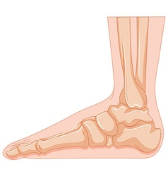 Foot bone in close up vector image