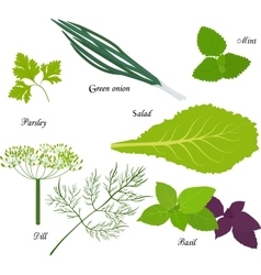 Leafy green vegetables organic product for vector image
